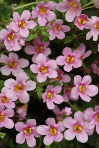 Abunda Pink Bacopa. Picture courtesy Ball Horticultural Company