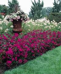 Amazon Rose Magic Dianthus - Picture courtesy Ball Horticultural Company