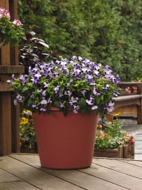 Clown Blue Improved Torenia. Picture courtesy Ball Horticultural Company