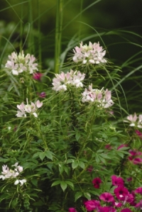 Sparkler Blush Cleome. Picture courtesy Ball Horticultural Company
