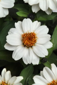 Zahara White Zinnia. Picture courtesy Ball Horticultural Company