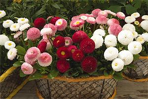 Bellissima mixed Bellis Picture Courtesy Ball Horticultural Company