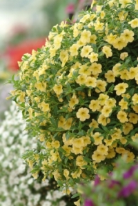 Cabaret Yellow Calibrachoa. Picture courtesy Ball Horticultural Company