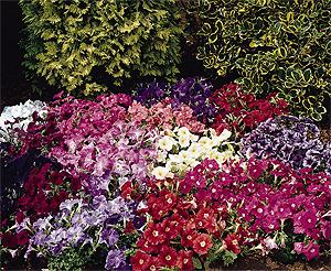 Carpet mixed Petunia. Picture courtesy Ball Hortiultural Company