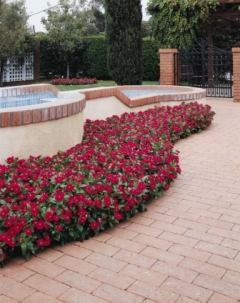 Cooler Red Vinca. Picture courtesy Ball Horticultural Company