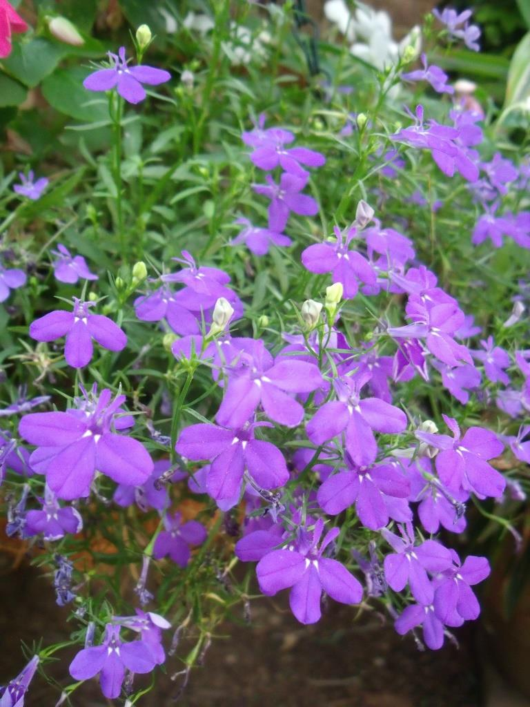 Lobelias are fantastic in hanging baskets.
