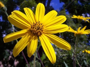 Jerusalem Artichoke Flower. Picture courtesy The Virginia Native Plant Society