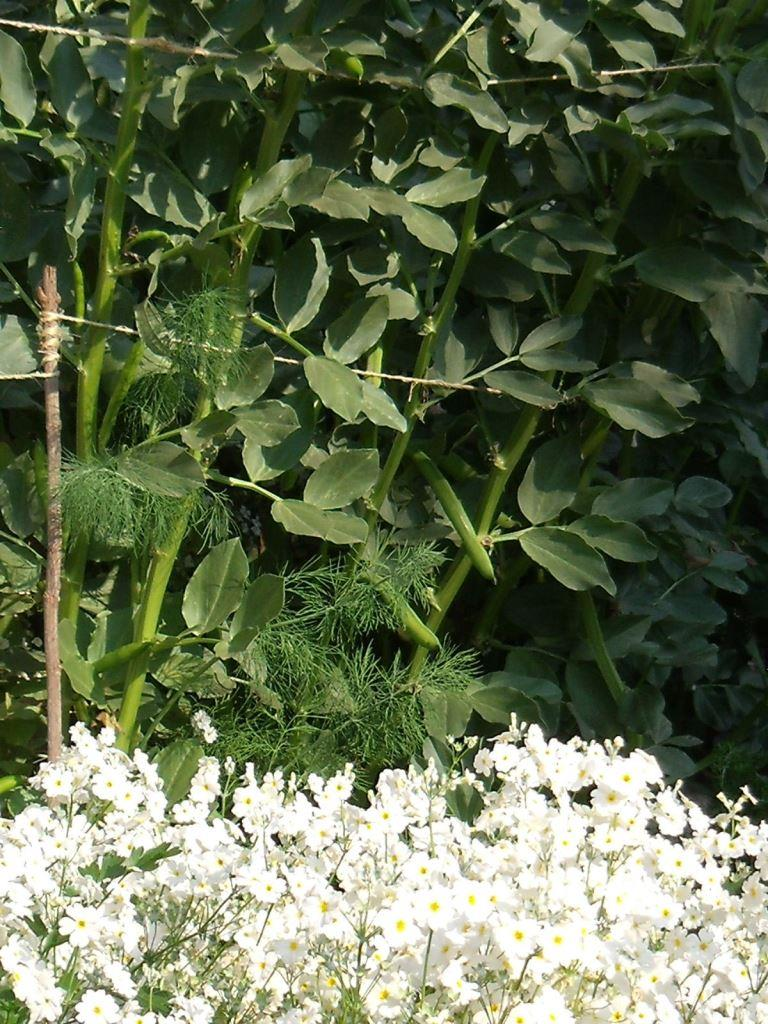 Broad Beans with white Primulas in front