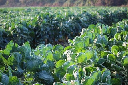 Brussels Sprouts Farm. Image by Florin Birjoveanu from Pixabay