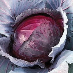 Cabbage' Red Jewel' Picture courtesy www.ballstraathof.co.za