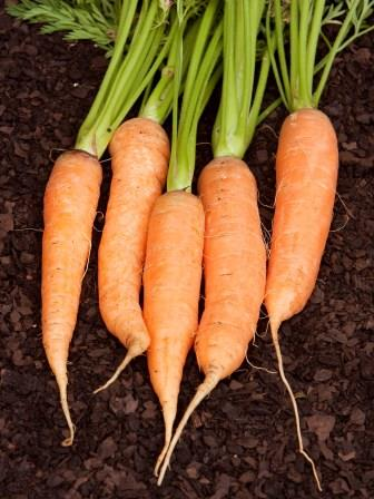 Carrot 'Chantenay Karoo' Picture courtesy Ball Straathof