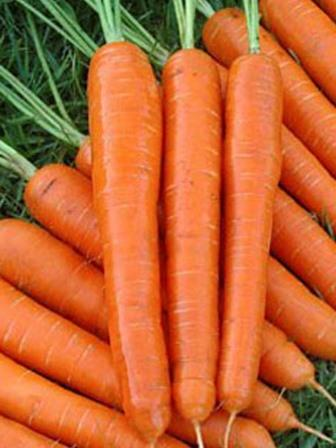 Carrot 'Nantes' Picture courtesy Ball Straathof