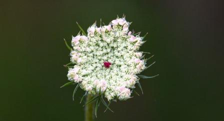 Wild Carrot Flower. Image by TheOtherKev from Pixabay