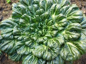 Tatsoi Grows Rapidly Can Be Harvested Early