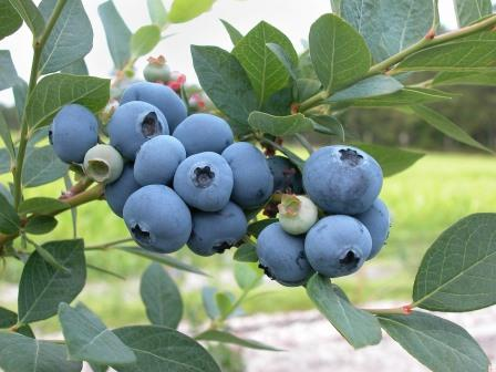 Blueberry bush. Picture courtesy skeeze from Pixabay