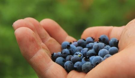 Blueberry Harvest Picture courtesy Tan Temmel from Pixabay