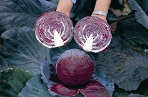 Cabbage 'Baby Red Primero. Picture courtesy www.ballstraathof.co.za