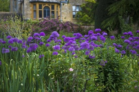 Purple Allium growing at Hidcote Manor, Lawrence Johnsons Garden. Image by Ron Porter from Pixabay