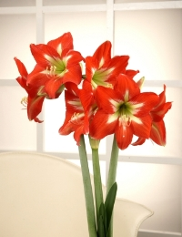 Amaryllis Christmas Star. Picture courtesy www.hadeco.co.za
