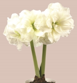 Amaryllis Sonata double Alfresco. Picture courtesy www.hadeco.co.za