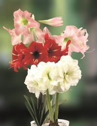 Amaryllis Sonatini Assorted. Picture courtesy www.hadeco.co.za