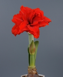 Amaryllis Symphony double Inferno. Picture courtesy www.hadeco.co.za