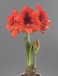 Amaryllis Symphony single Gold Medal. Picture courtesy www.hadeco.co.za