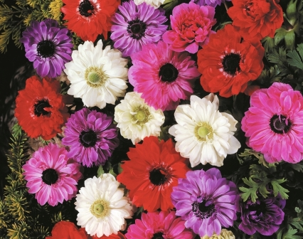 Anemone Double Mixed Picture courtesy www.hadeco.co.za