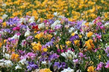 Freesias are one of the most fragrant spring flowers and are said to these little beauties are sure to capture your heart and are grown worldwide for their cheerful colours and fabulously fragrant flowers which last long in a mightylinksfo