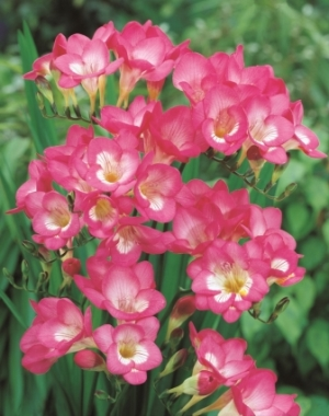 Freesia 'Pink' Picture courtesy www.hadeco.co.za