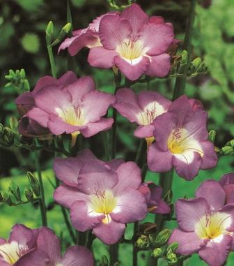 Freesias 'Lilac' Picture courtesy www.hadeco.co.za
