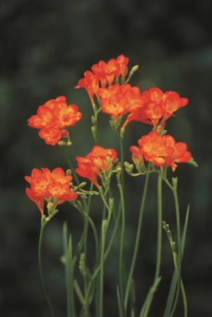 Freesias 'Red with yellow centre' Picture courtesy www.hadeco.co.za