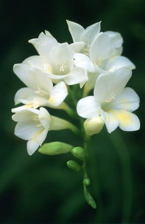 Freesias 'White' Picture courtesy www.hadeco.co.za