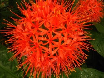 Scadoxus puniceus. Picture courtesy www.newplant.co.za