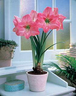 Amaryllis Blushing Bride.  Picture courtesy www.hadeco.co.za