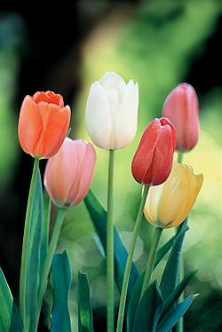 Tulips mixed. Picture courtesy www.hadeco.co.za