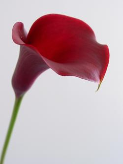 Zantedeschia 'Majestic Red'  Picture courtesy BLOOMZ, New Zealand