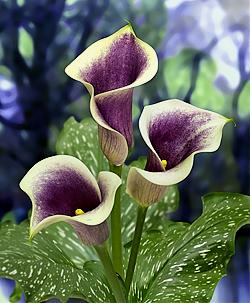 Zantedeschia 'Picasso'  Picture courtesy BLOOMZ, New Zealand