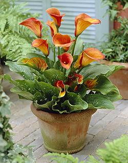 Zantedeschia 'Treasure'