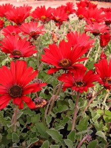 Arctotis Radience Red. www.newplant.co.za