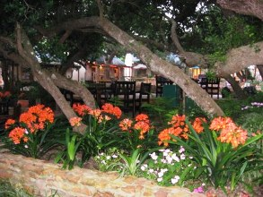 how to grow clivias in south africa