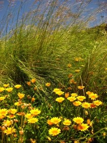 Gazanias grow well with grasses. Picture courtesy www.newplant.co.za