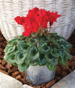 Cyclamen 'Friller' Scarlet. Picture courtesy www.ballstraathof.co.za