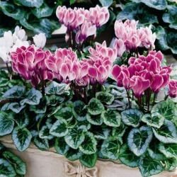 Cyclamen 'Silverado' Purple Flame. Cyclamen' Smartiz' Mix. Picture courtesy www.ballstraathof.co.za