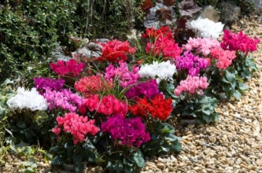 Cyclamen' Smartiz' Mix. Picture courtesy www.ballstraathof.co.za