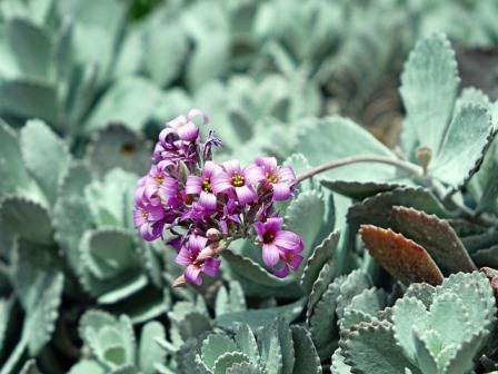 Kalanchoe pumila Image by Jason from Pixabay