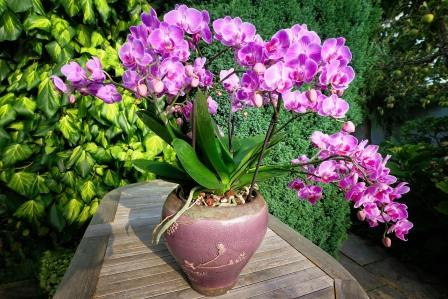 Moth Orchid. Image by Albrecht Fietz from Pixabay