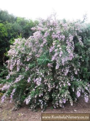 Buddleja salvifolia 'Mauve' Picture courtesy www.kumbula.nursery.co.za