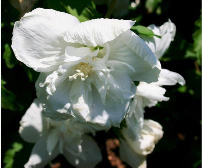 hibiscus syriacus 39 white chiffon 39 picture courtesy malanseuns. Black Bedroom Furniture Sets. Home Design Ideas