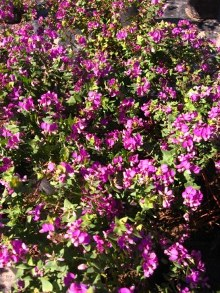 Polygala fruitcosa Picture courtesy www.newplant.co.za